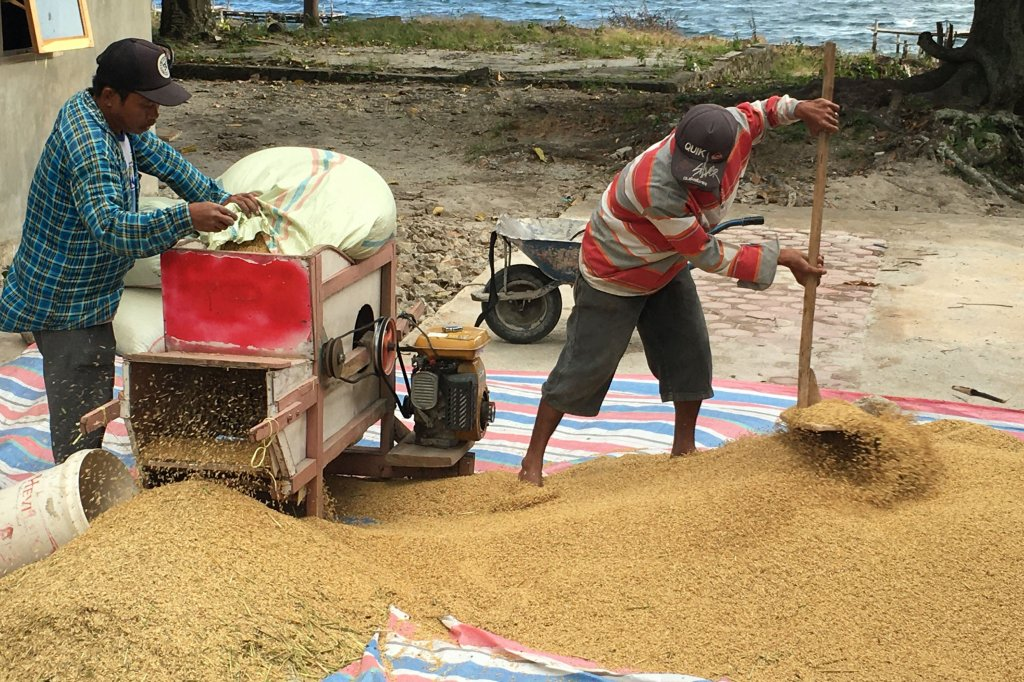 Batak winnowing rice on street Bakara,